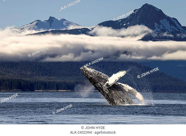 A humpback whale breaches as it leaps from the calm waters of Lynn Canal in Alaska's Inside Passage. The forested shoreline and Chilkat Mountains beyond