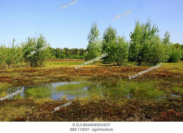 Pioneer vegetation like haircap moss and birch