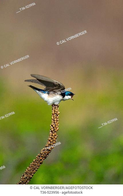 An angry Tree Swallow (Tachycineta bicolor) perched on a stalk reacts to a nearby rival at New York's Jamaica Bay National Wildlife Refuge
