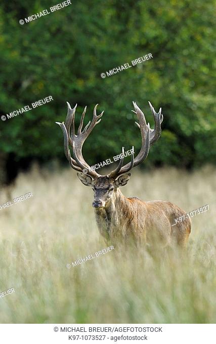Red deer, Cervus elaphus, Rothirsch, Rotwild, Denmark
