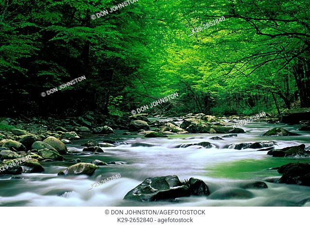 Spring foliage overhanging rapids in Middle Prong of Little River, Great Smoky Mountains National Park, Tennessee, USA