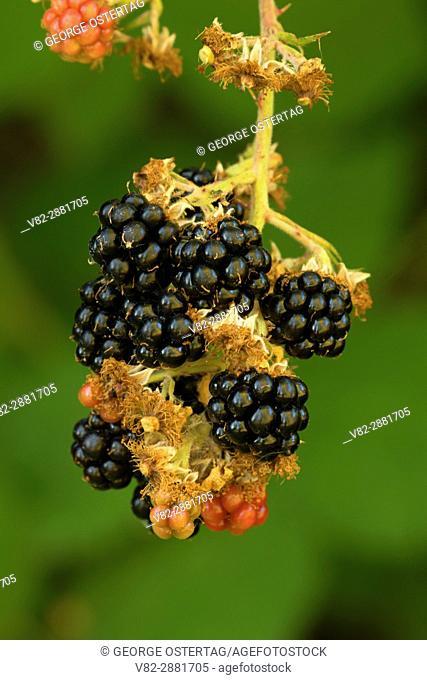 Blackberries, Willamette Mission State Park, Oregon