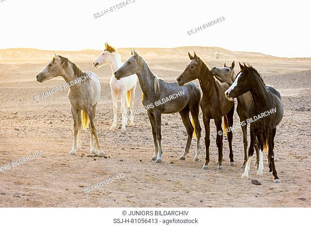 Arabian Horse. Herd of juvenile mares standing in the desert in evening light. Egypt