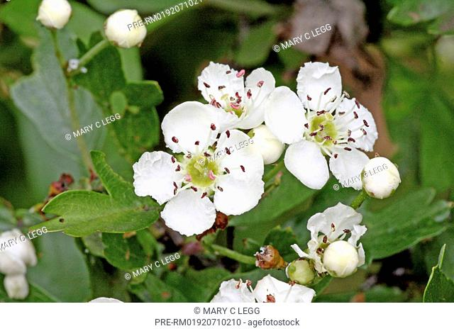Common hawthorn, Crataegus monogyna / Eingriffeliger Weißdorn, Crataegus monogyna