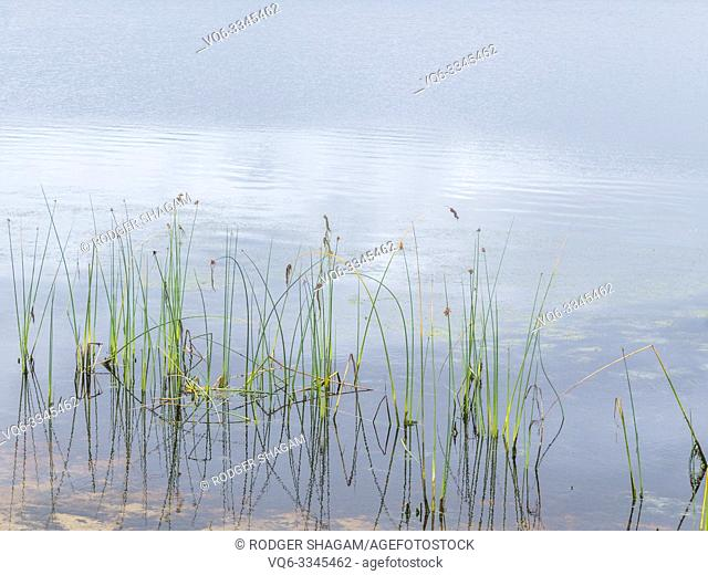 cluster of reeds in the quiet waters of a farm dam