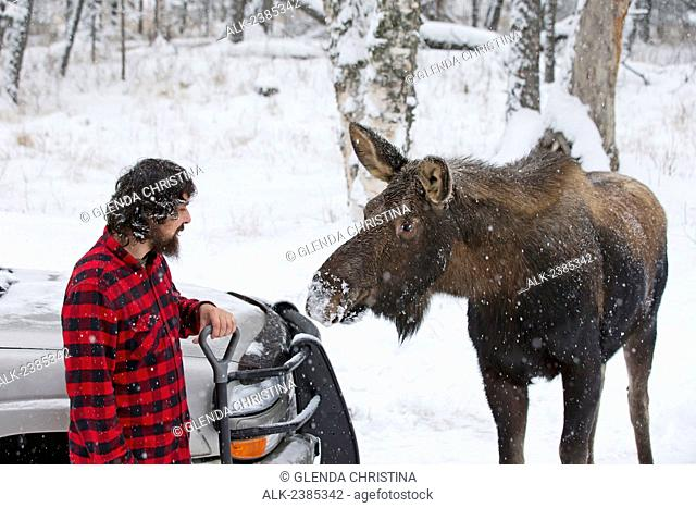 Man shoveling in the snow with a moose in the background in winter in Palmer, Southcentral Alaska