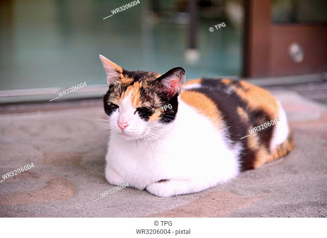 Cat sits on the carpet in front the door
