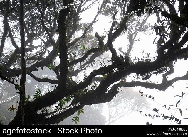 Mossy Forest, Cameran Heightland, Malaysia