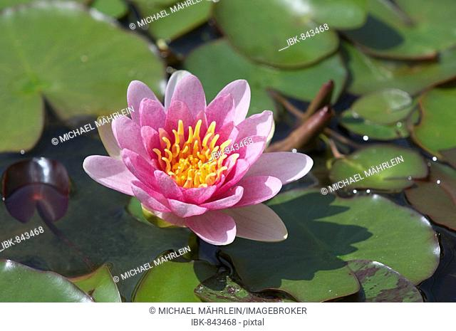 Pink Waterlily (Nymphaea)