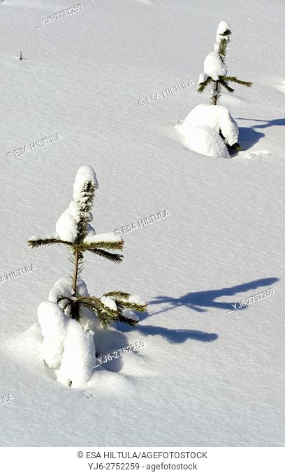 Young pine sapling