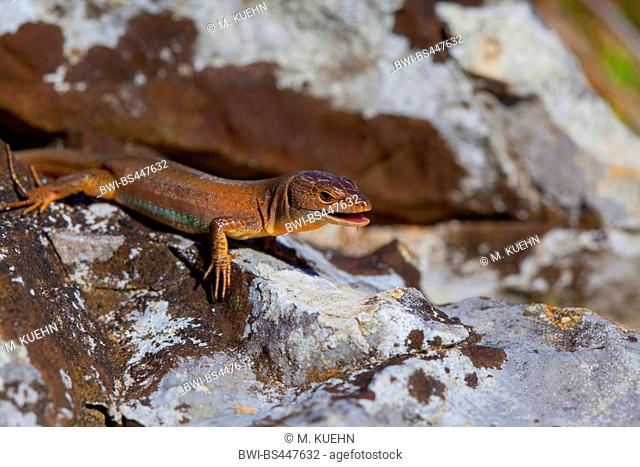 Dalmatian wall lizard (Podarcis melisellensis, Lacerta melisellensis), on a rock, side view, Croatia