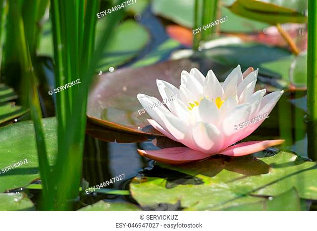 Single white and pink lotus flower in the thickets of bulrush in the natural wild pond