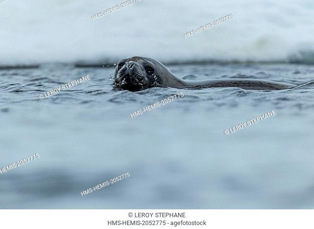 South Atlantic Ocean, South Georgia Island, weddell seal (Leptonychotes weddellii)