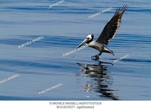 California Brown Pelican taking off