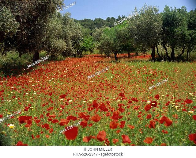 Wild flowers including poppies in a grove of trees, on the island of Rhodes, Dodecanese, Greek Islands, Greece, Europe
