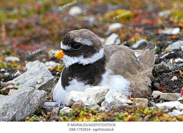 Norway , Spitzbergern , Svalbard , Ny-Alesund , Common Ringed Plover or Ringed Plover Charadrius hiaticula , on the nest