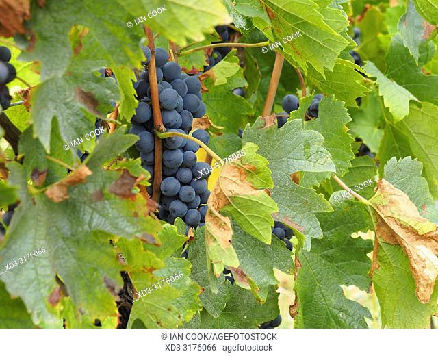 vineyard, Dordogne Department, Nouvelle Aquitaine, France