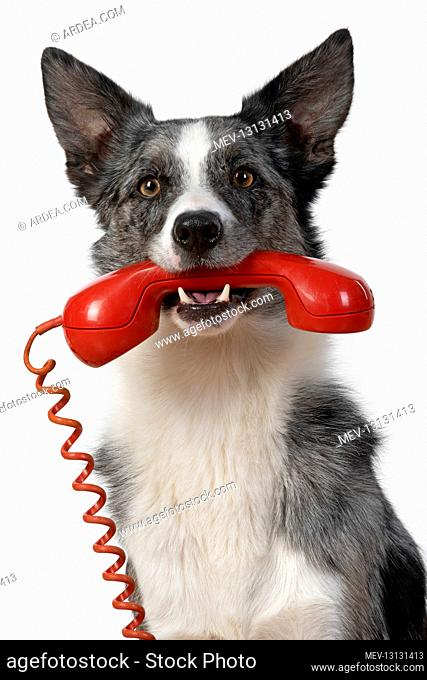 DOG. Collie X breed, sitting with a phone in his mouth, studio, white background