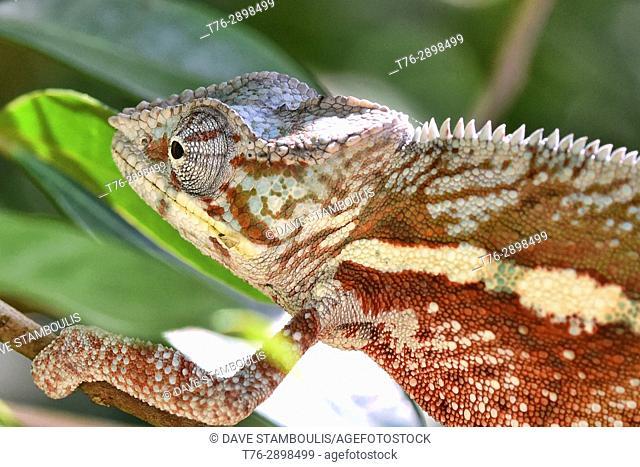 Colourful Panther chameleon (Furcifer pardalis), Andasibe, Madagascar