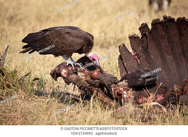 Hooded Vulture (Necrosyrtes monachus), approaching at the carcass of a Cape Buffalo (Syncerus caffer caffer). Savuti, Chobe National Park, Botswana