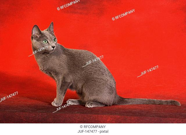 russian blue - sitting