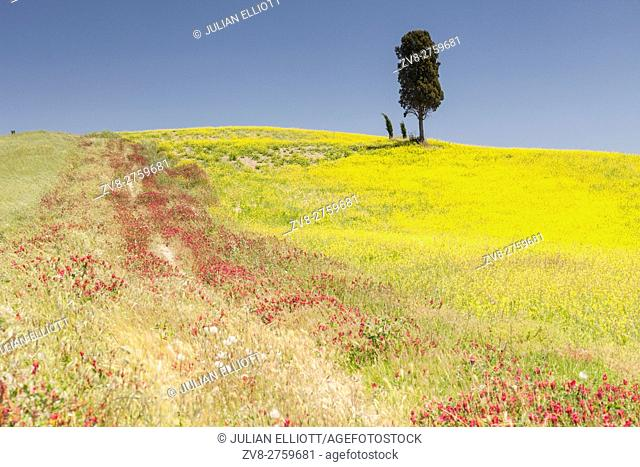 Wildflowers and cypress trees in the Val d'Orcia, Tuscany. The area has been protected by UNESCO as a World Heritage Site. The landscapeâ