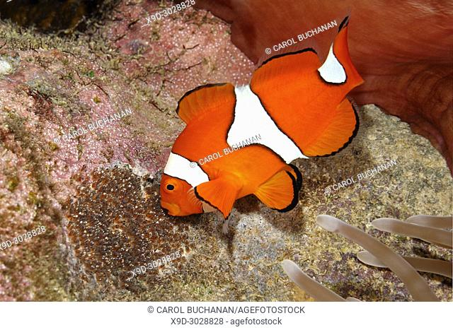 Clownfish, Amphiprion percula, male fish aerating eggs laid on a patch of cleared substrate underneath the host Magnificent Sea Anemone, Heteractis magnifica