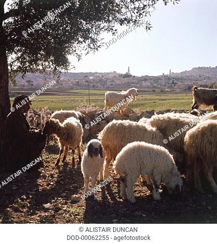 Flock of sheep and goats grazing in Judea, West Bank, Israel, shepherd sitting under tree, city in background
