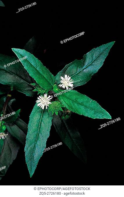 Eclipta Alba. Family: Compositae. A well-known ayurvedic herb which grows in moist areas. The plant extract is made into hair tonic and oil