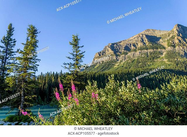 Fireweed flowers, Lake Louise, Banff National Park, Alberta, Canada