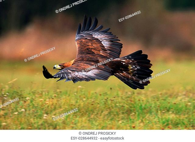 Golden Eagle, flying above flowering meadow