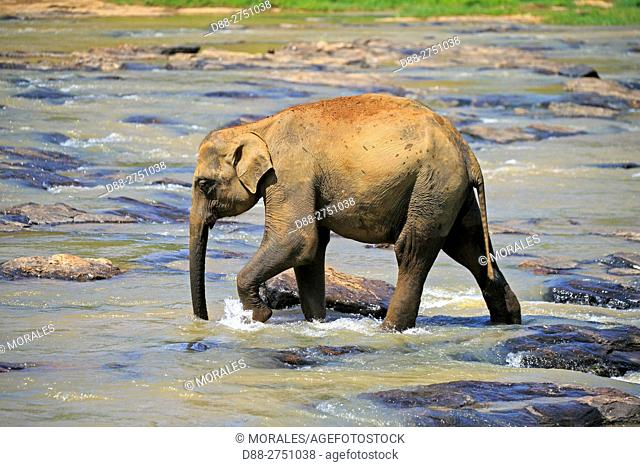 Sri Lanka, Pinnawala, Sri lankan elephants (Elephas maximus maximus) from Pinnawala Elephant Orphanage bathing in the Maha Oya river with their carers nearby
