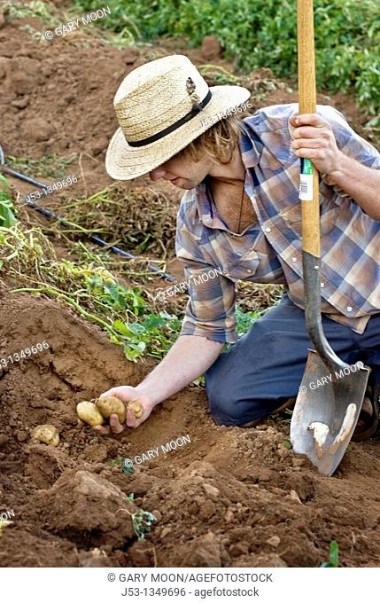 Young man harvesting potatoes on small organic farm, Nevada City, California