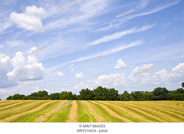 Crop field under blue sky in rural landscape