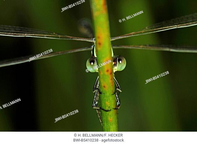 Migrant spreadwing, Southern emerald damselfly (Lestes barbarus), peeping out a stem, Germany