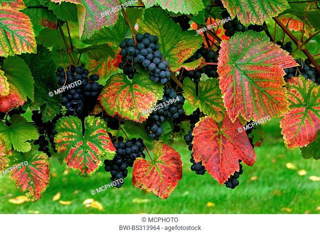 grape-vine, vine (Vitis vinifera 'Regent', Vitis vinifera Regent), cultivar Regent