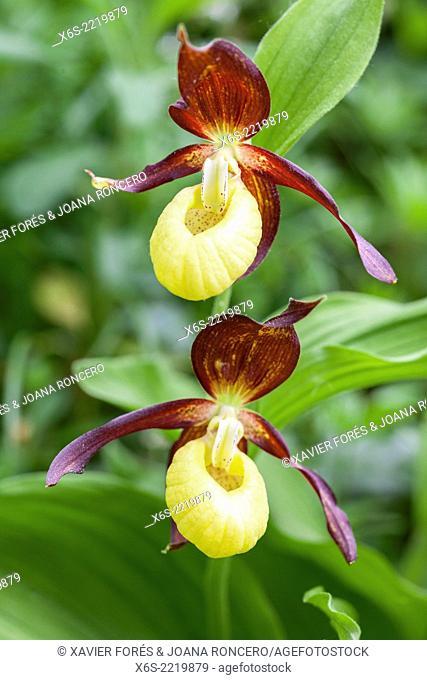 Lady's-slipper orchid - Cypripedium Calceolus -, Isere, Rhône-Alpes, France