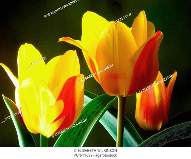 Dwarf growing colourful tulip, bright red and yellow flowers with decorative markings on the foliage These make a dramatic splash of colour in a spring garden