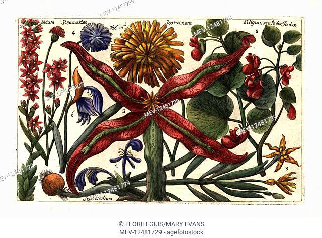 Black salsify, Scorzonera hispanica 1, mountain houseleek, Sempervivum montanum 2, snakeroot, Sagittaria sagittifolia 3, cornflower, Centaurea cyanus 4