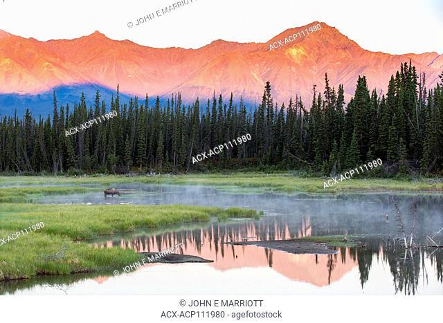 Moose, Alces alces, British Columbia, Canada