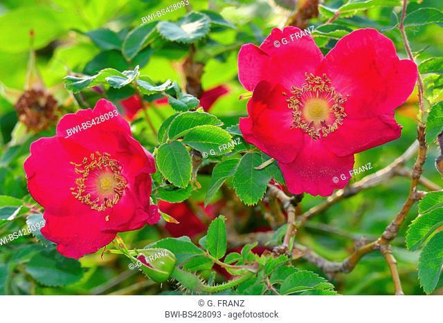 Moyes Rose (Rosa moyesii 'Geranium', Rosa moyesii Geranium), cultivar Geranium