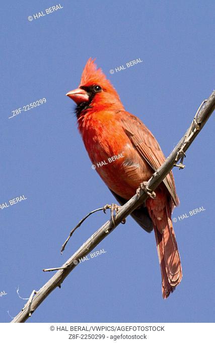 Northern Cardianal male (Cardinalis cardinalis) Oahu, Hawaii