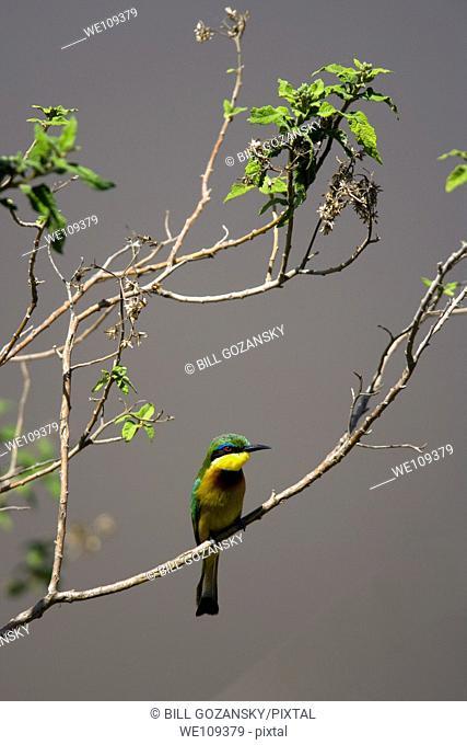 Little Bee-eater - Masai Mara National Reserve, Kenya