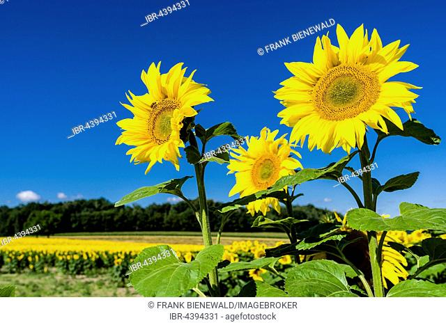 Blossoms of common sunflowers (Helianthus annuus), Saxony, Germany
