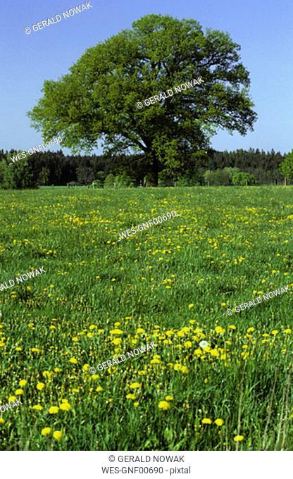 Tree on summer meadow, Bavaria, Germany