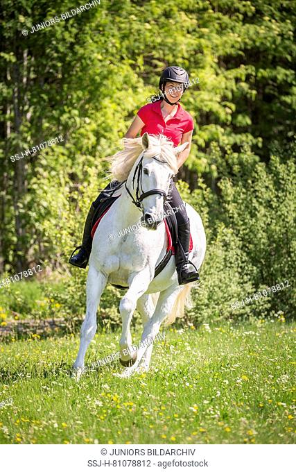 Lusitano. Rider on a old gray gelding galloping on a meadow. Germany