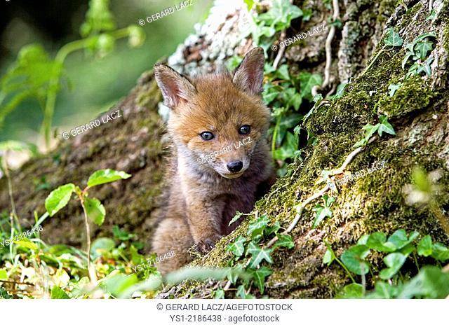 Red Fox, vulpes vulpes, Cub standing at Den Entrance, Normandy