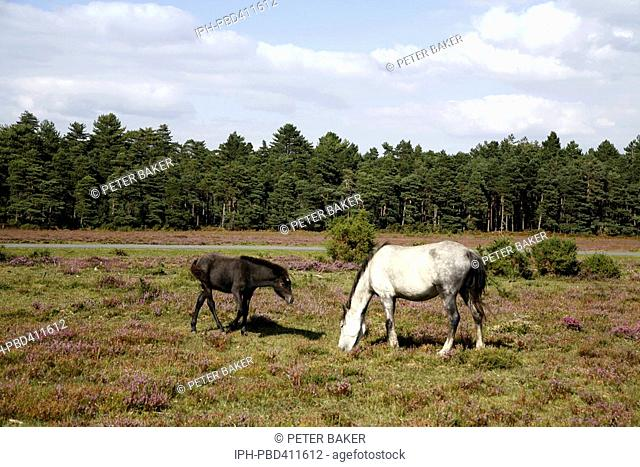 Pony with foal grazing among the heather near the New Forest village of East Boldre