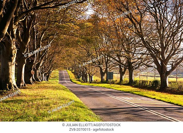 The beech lined avenue that leads to Kingston Lacy in Dorset, England, UK