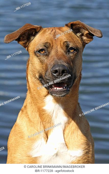 Malinois hybrid, portrait, water in the back